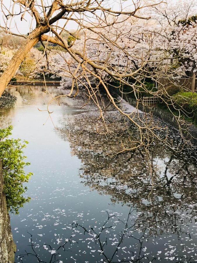 鎌倉 鶴岡八幡宮 水面の桜